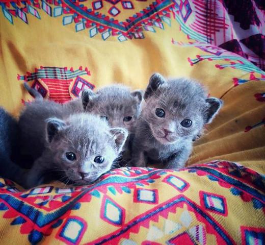 4 chatons Korat à vendre (4 Mâles)