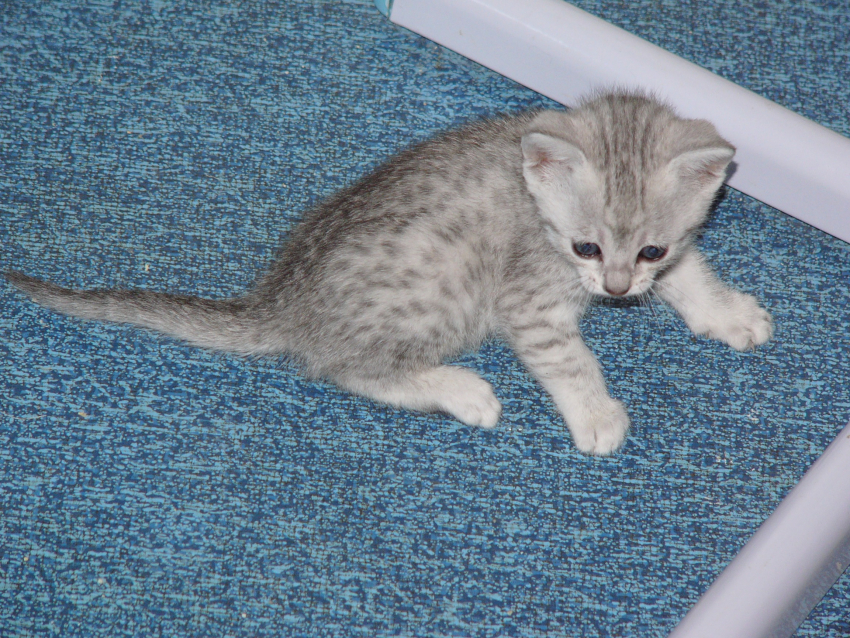 Chatons Maus Égyptiens black silver spotted tabby