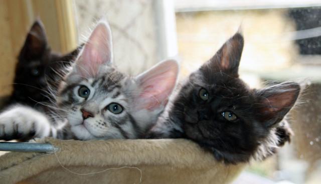 6 chatons Maine Coon à vendre (3 Femelles & 3 Mâles)