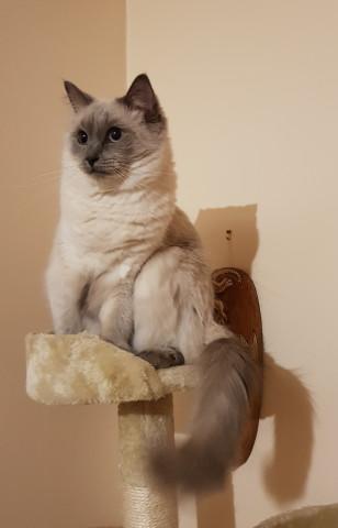 Deux magnifiques chatons femelles Ragdoll LOOF