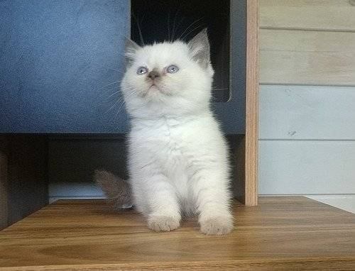 Chatons British Scottish Straight Chocolat Point A Vendre Petite Annonce Chat