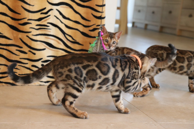 Chatons Bengal brown Rozetted