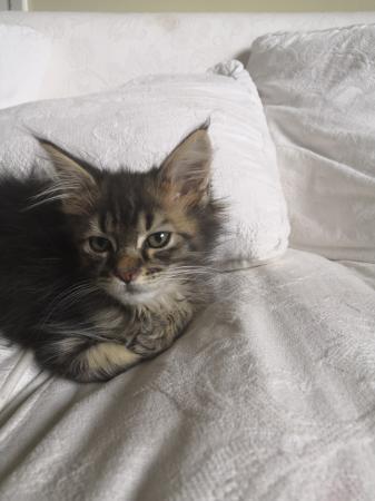 Superbes chatons Maine Coon disponible pour adoption