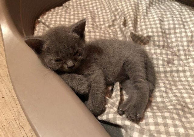2 mâles et 2 femelles chatons chartreux pour adoption