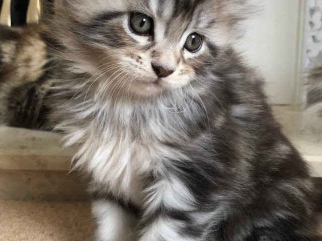chatons maine coon à donner