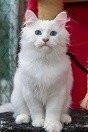 chaton Sibérien mâle à vendre