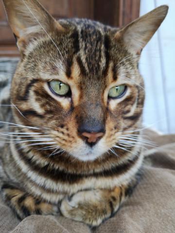 4 chatons Bengal à vendre (2 Femelles & 2 Mâles)