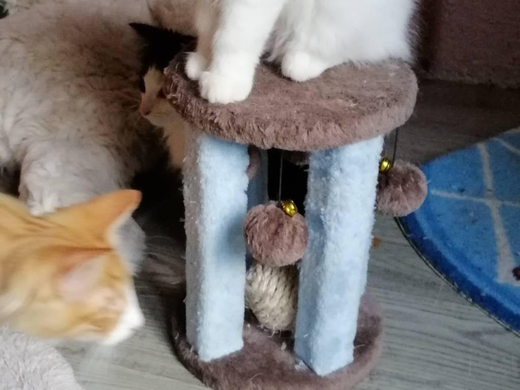 chat Norvégien Mâle à vendre