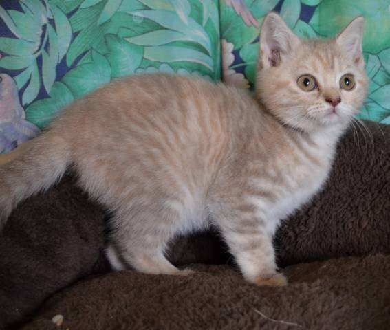 5 Chatons British Shorthair A Vendre 2 Femelles 3 Males Petite Annonce Chat