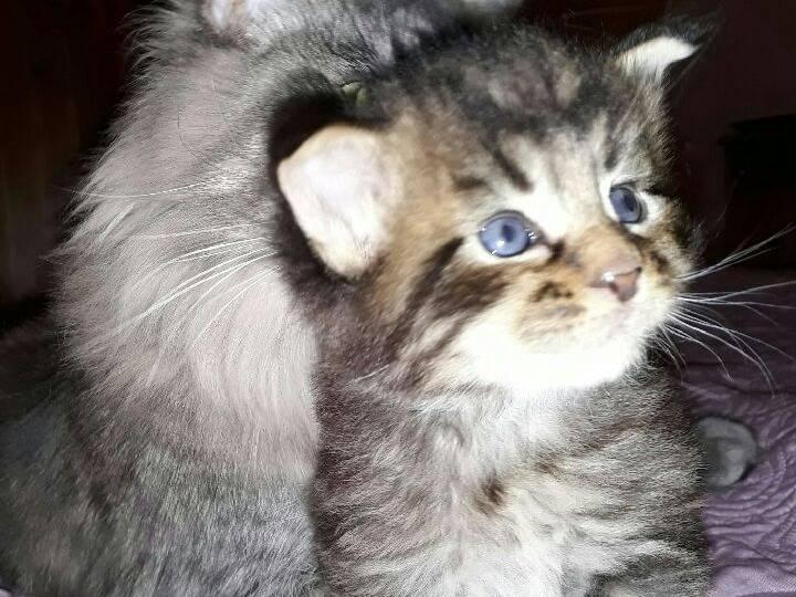 Magnifiques chatons Maine Coon à vendre