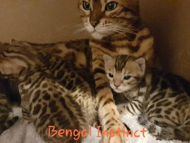 4 Chatons Bengal A Vendre 3 Femelles 1 Male Petite Annonce Chat